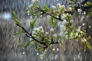 rain-tree-branch-buds-flowers